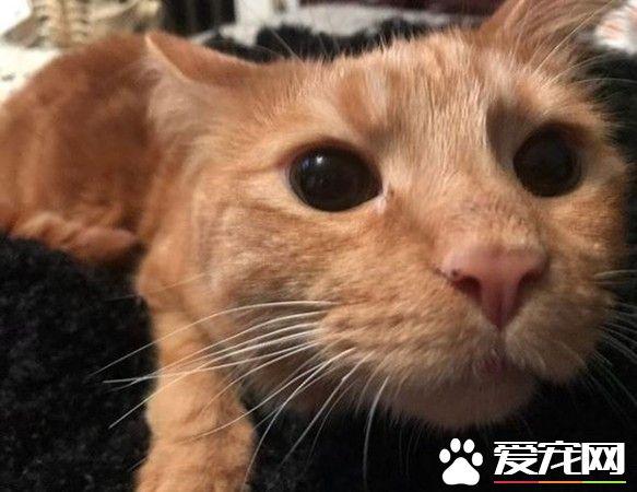 小橘猫先天性小脑发育不全 超特别外八步伐